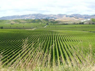 Brancott Estate vineyards, Marlborough region.  Photo credit: Rhiannon Davies